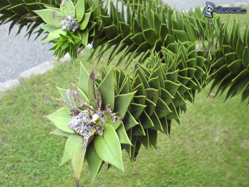 piña, palmera, árbol