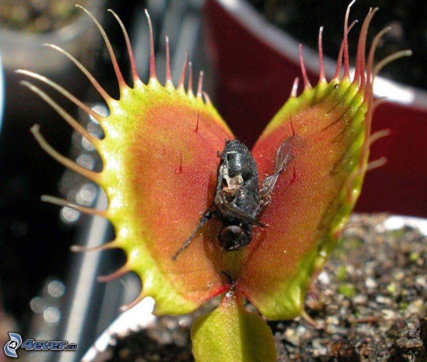 planta carnívora, mosca