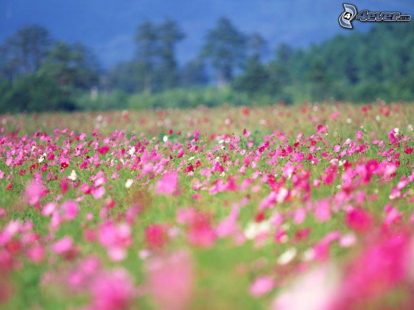 prado, flores de color rosa