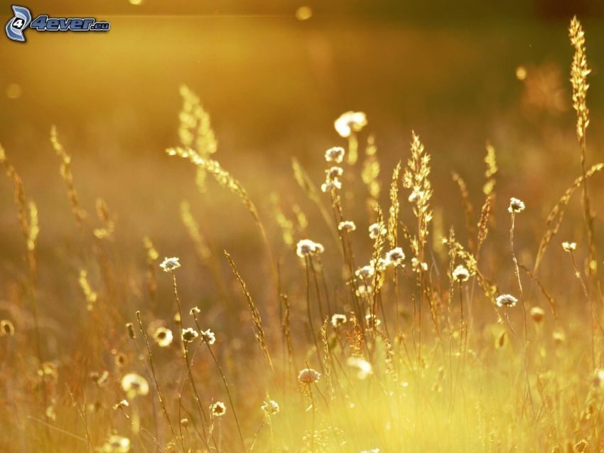 prado, paja de hierba