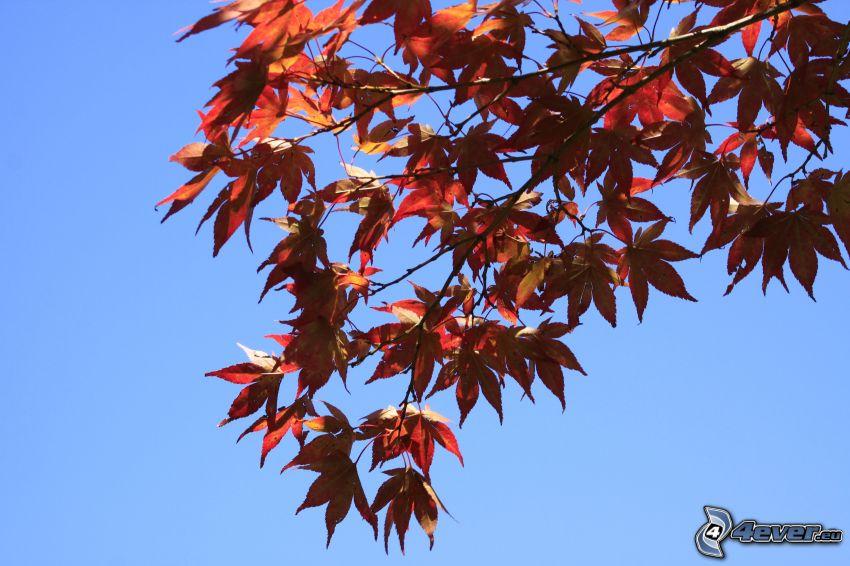 rama, hojas rojas