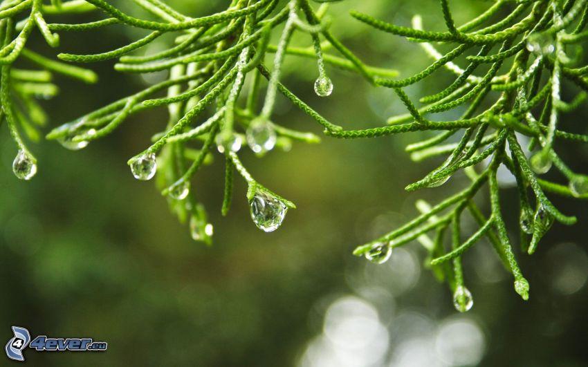 ramita, gotas de agua