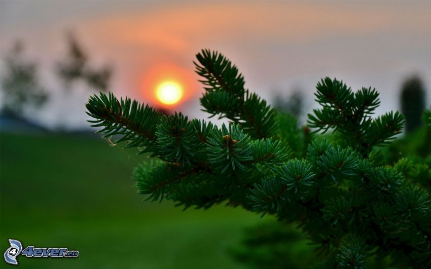 ramita de coníferas, puesta del sol