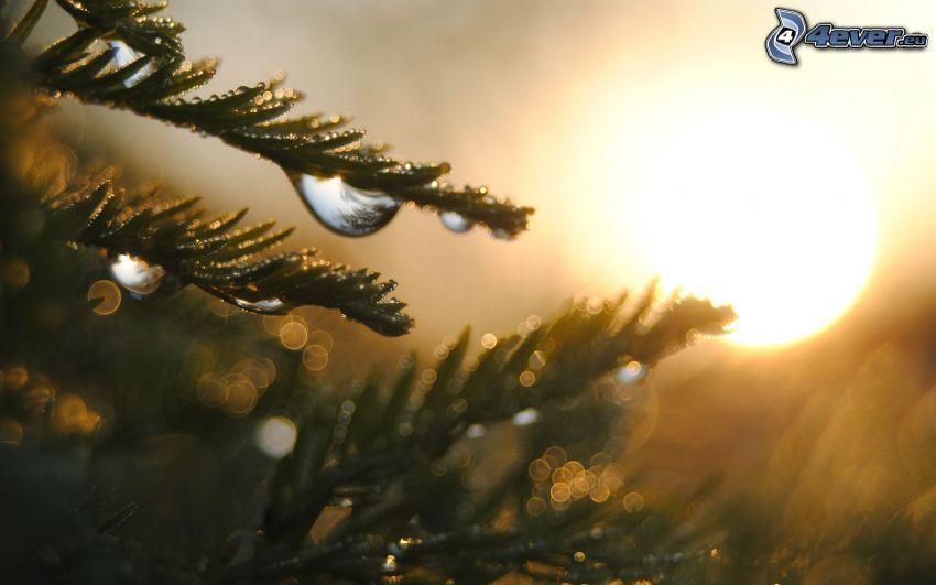 ramita de coníferas, rocío, puesta del sol