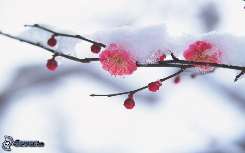 ramita en flor, flores de color rosa, nieve