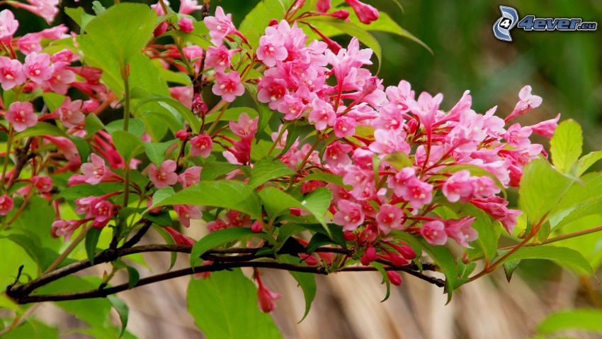 ramita en flor, flores de color rosa