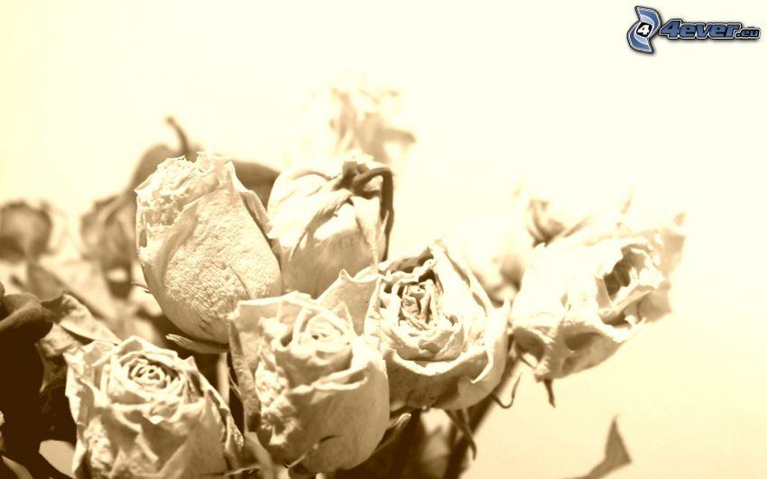 ramo de rosas, flores secas, sepia