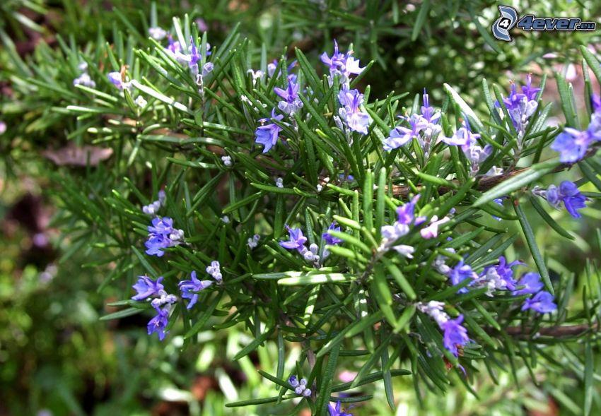 romero, flores de color azul