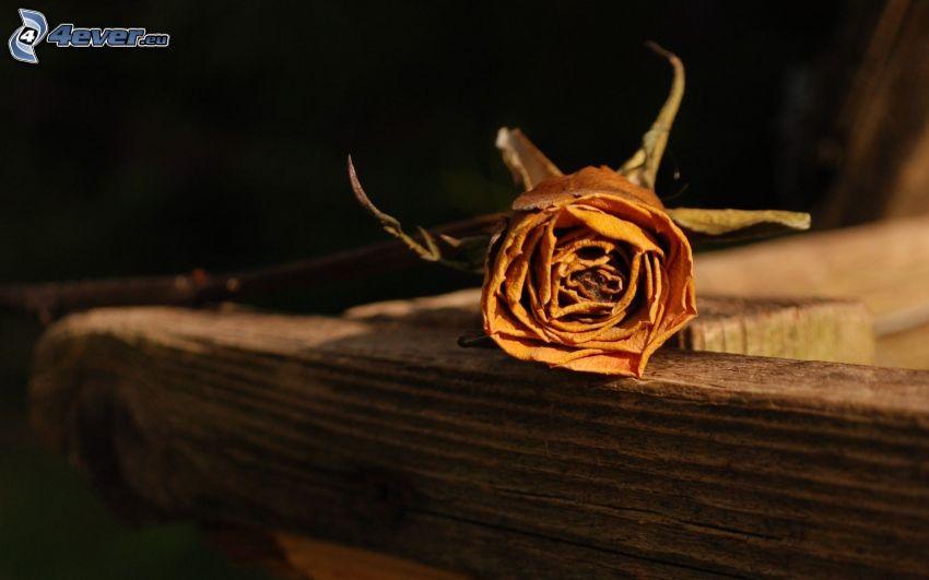rosa, flor seca