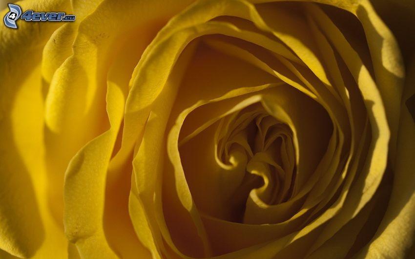 rosa amarilla, macro