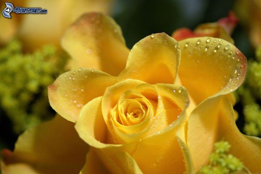 rosa amarilla, rosa en rocío