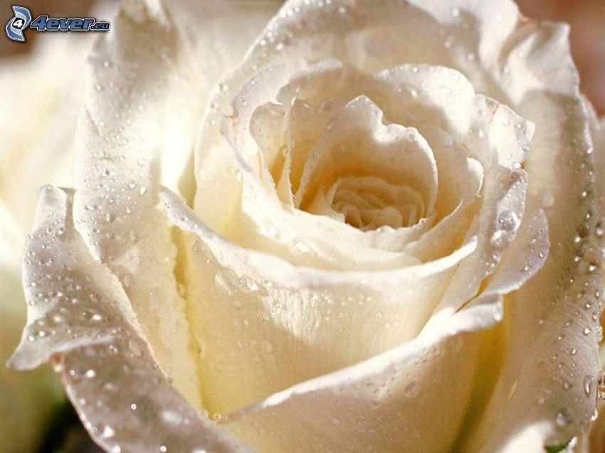 Rosa Blanca, rosa en rocío