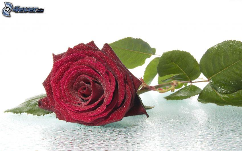 rosa en rocío, rosa roja