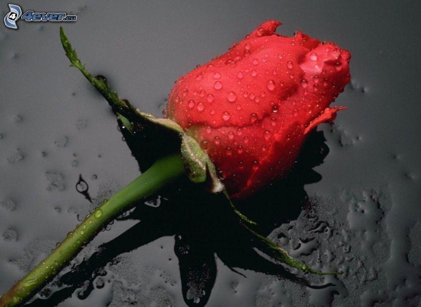 rosa roja, flor, gotas, rosa en rocío