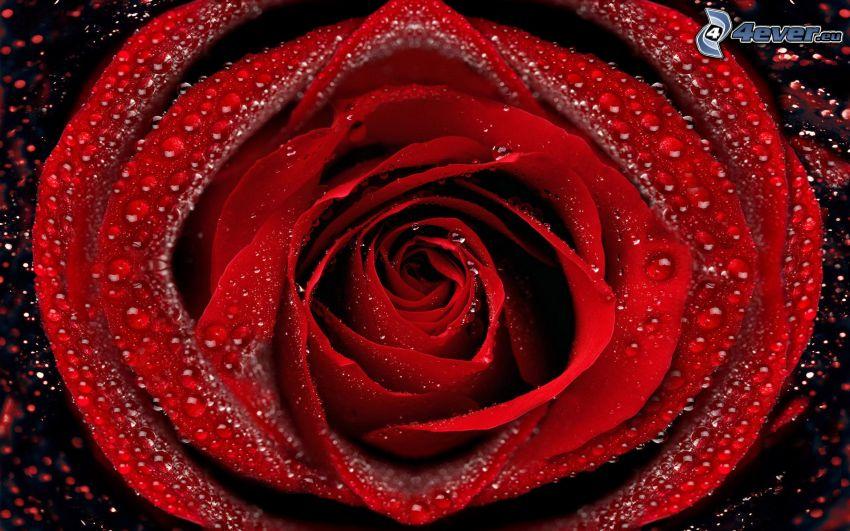 rosa roja, rosa en rocío, gotas de agua