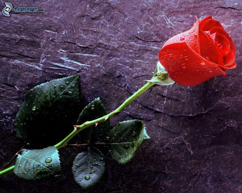 rosa roja, rosa en rocío