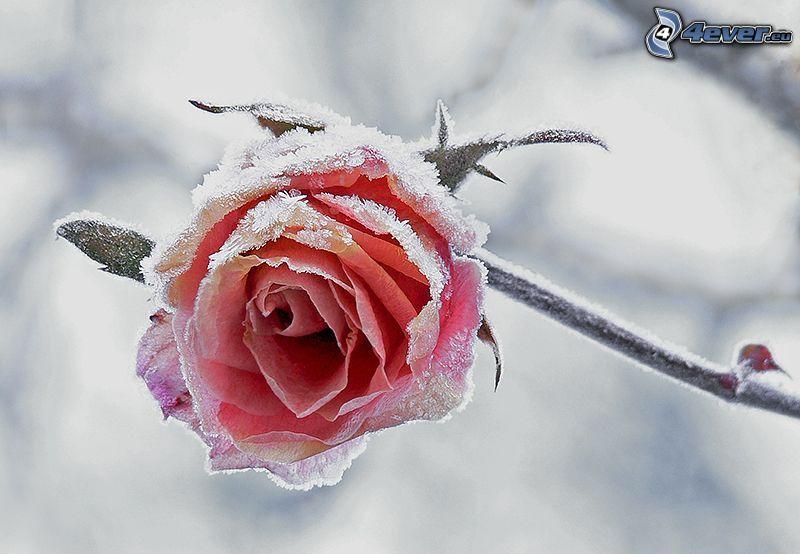 rosas de color rosa, glaseado