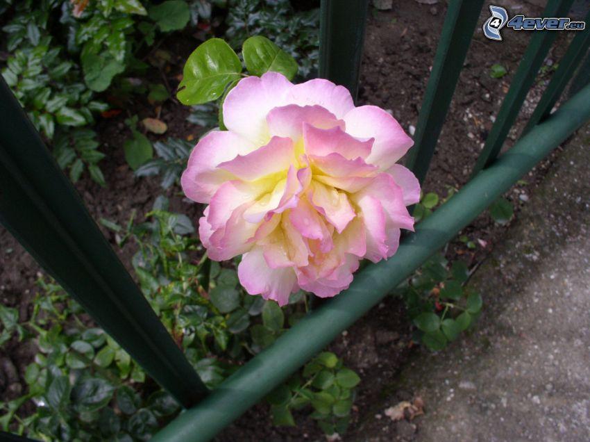 rosas de color rosa, valla