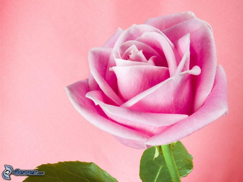 rosas de color rosa