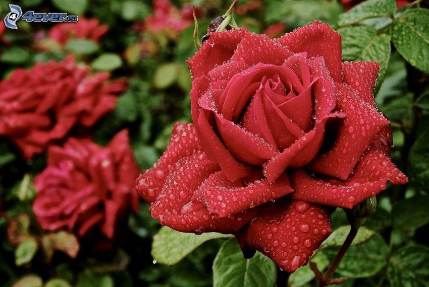 rosas rojas, rocío