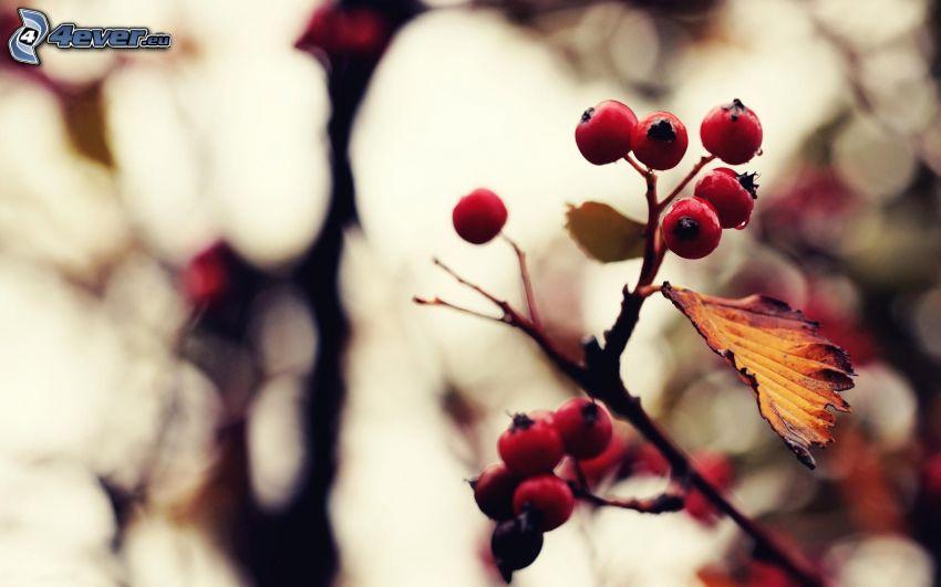 Serbal, hoja de otoño