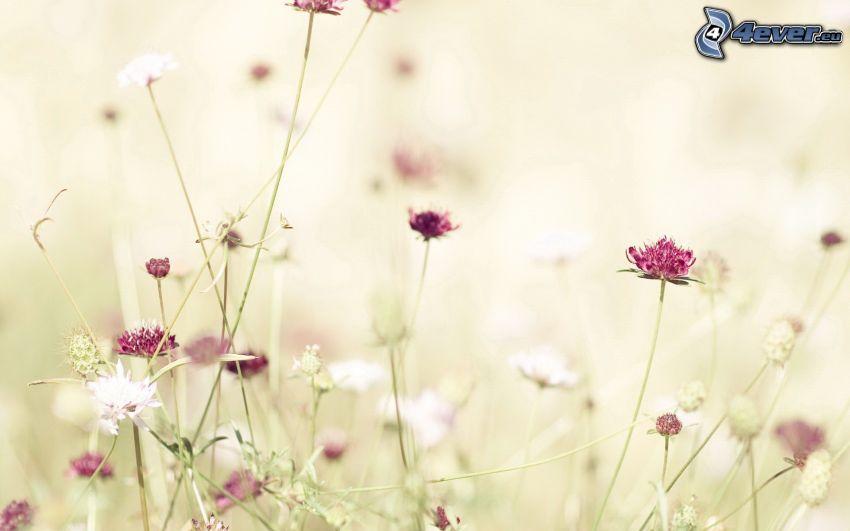 trébol, flores de color rosa