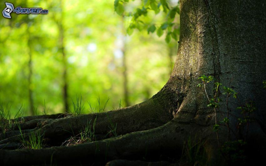 tribu, raíces