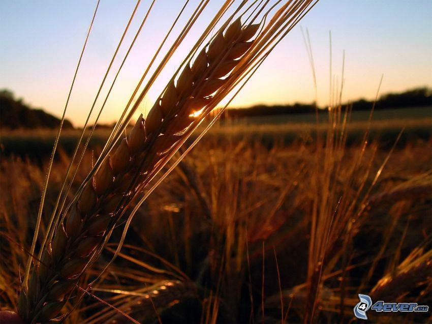 trigo, puesta del sol