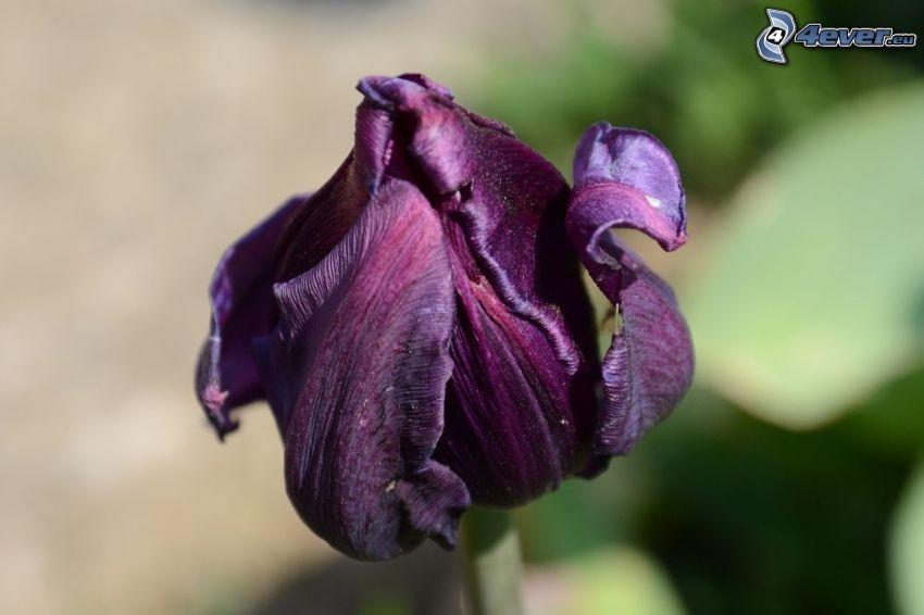 tulipán morado, flor seca