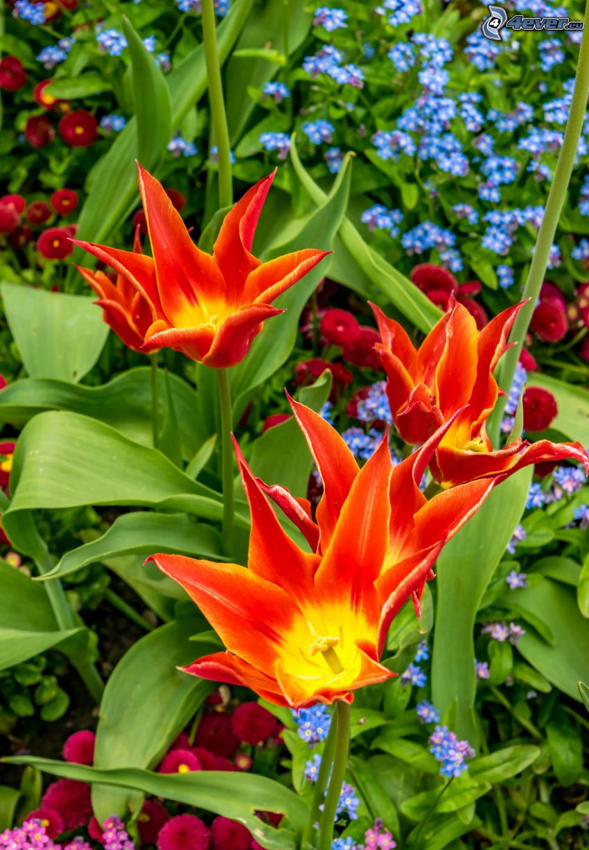 tulipanes, flores rojas