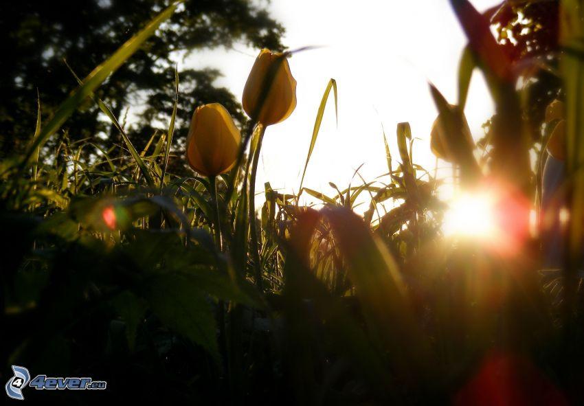 tulipanes amarillos, hierba, puesta del sol