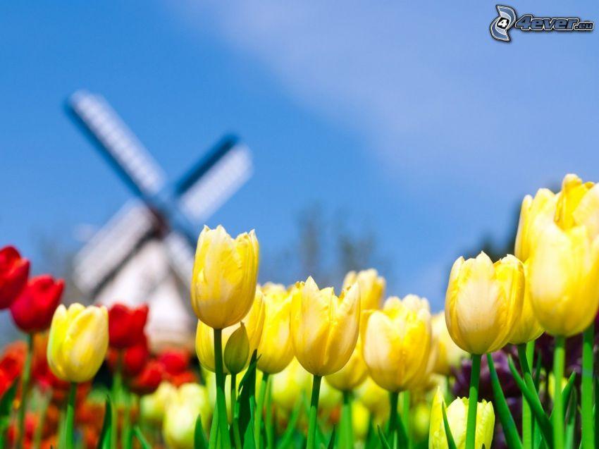 tulipanes amarillos, tulipanes rojos, molino de viento, Países Bajos