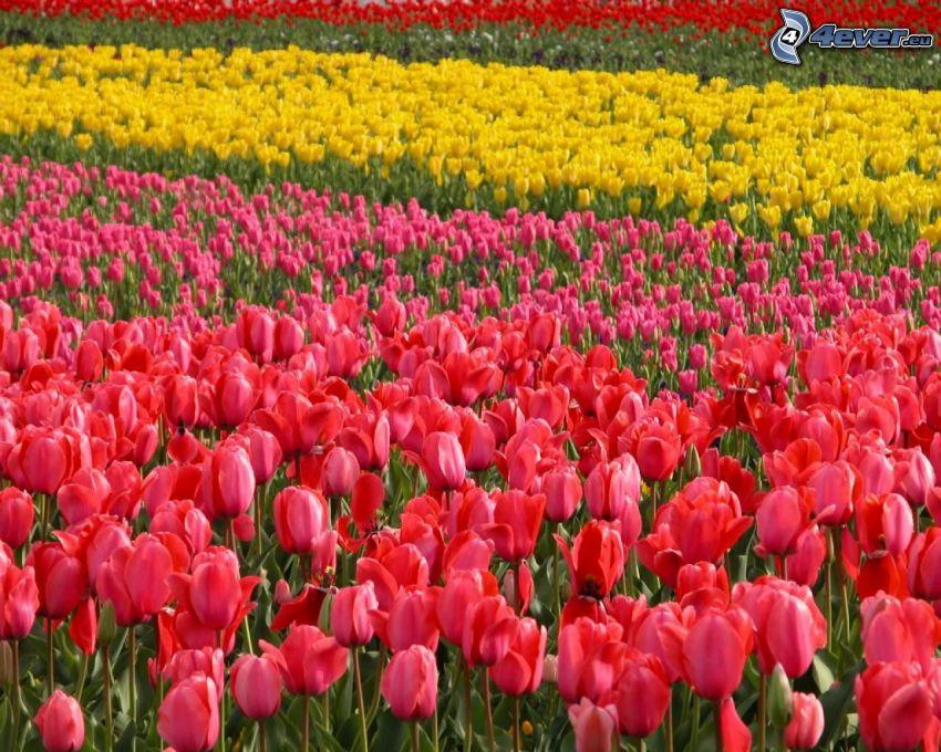tulipanes de color rosa, tulipanes amarillos, tulipanes rojos, campo