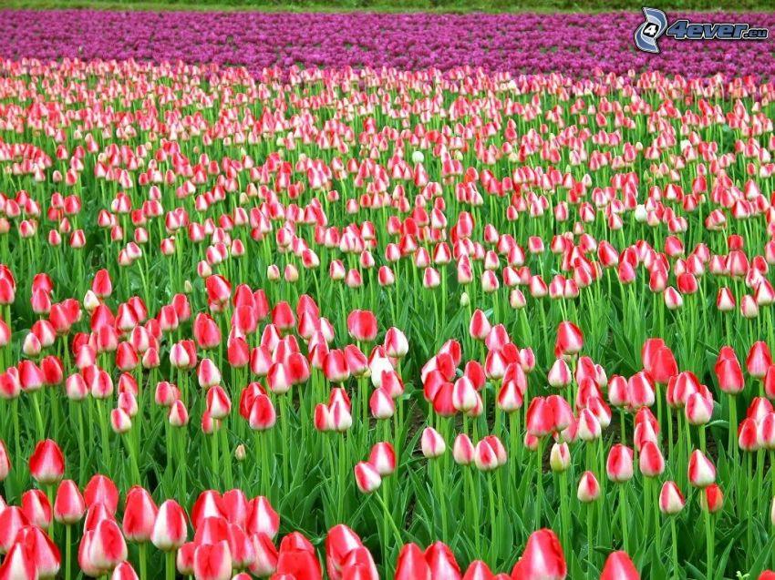 tulipanes de color rosa, tulipanes de color púrpura, campo