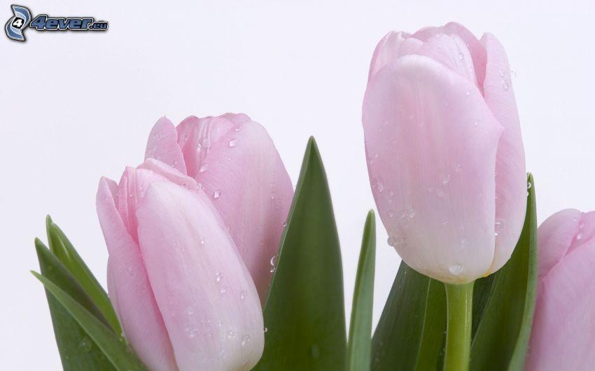 tulipanes de color rosa