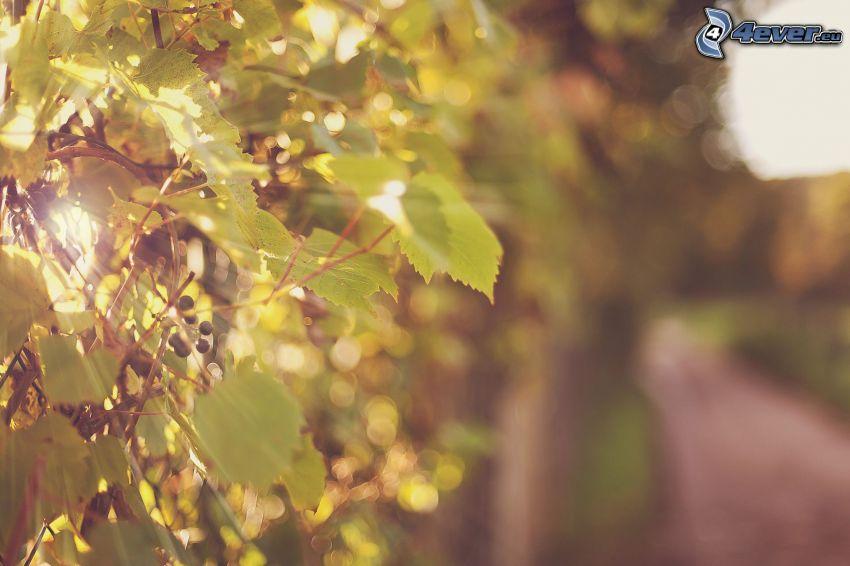 uvas, rayos de sol