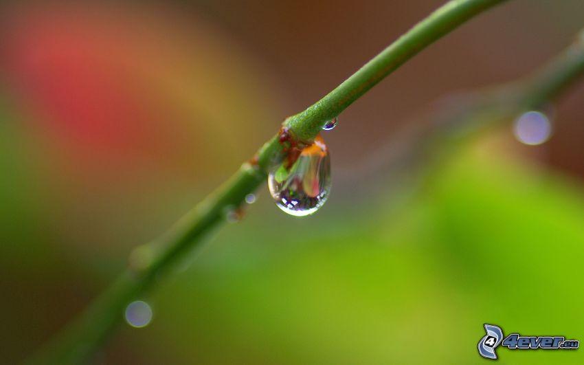 vástago, gota de agua