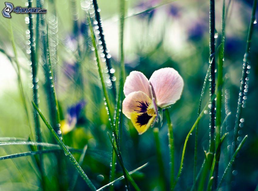 violetas, hierba, rocío