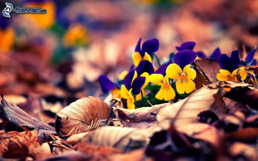 violetas, hojas secas