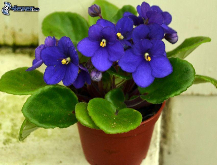 violetas, hojas verdes, olla