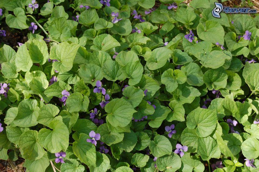 violetas, hojas verdes