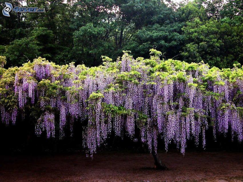 wisteria, árboles
