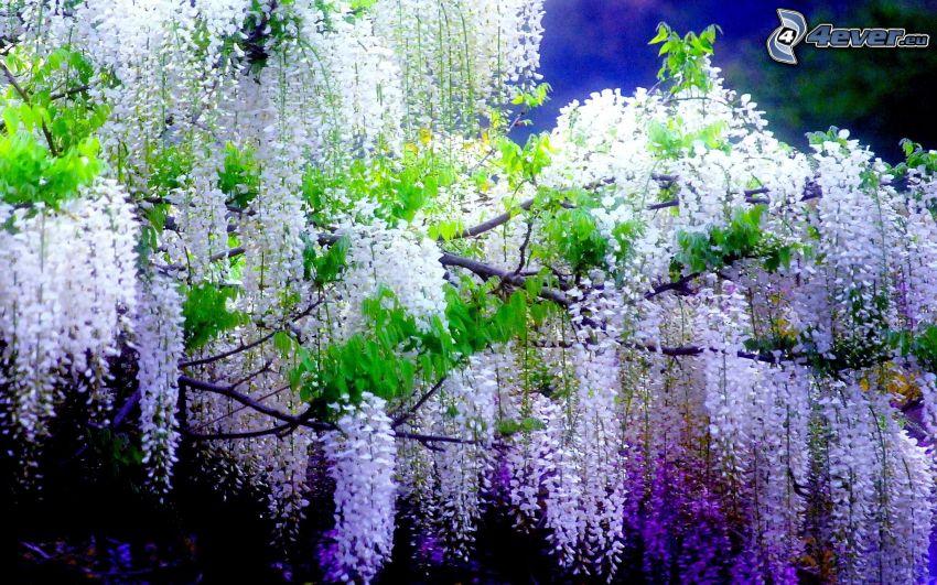 wisteria, flores blancas