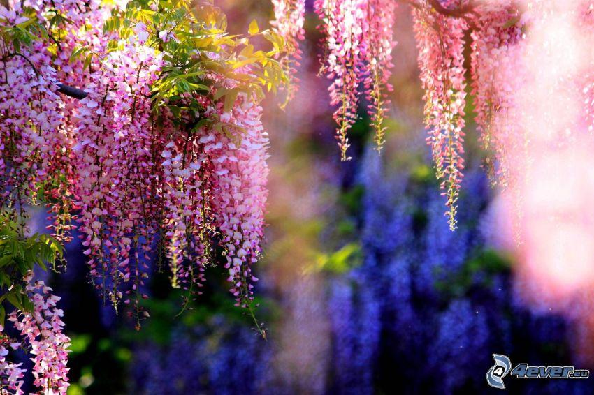 wisteria, flores de color rosa
