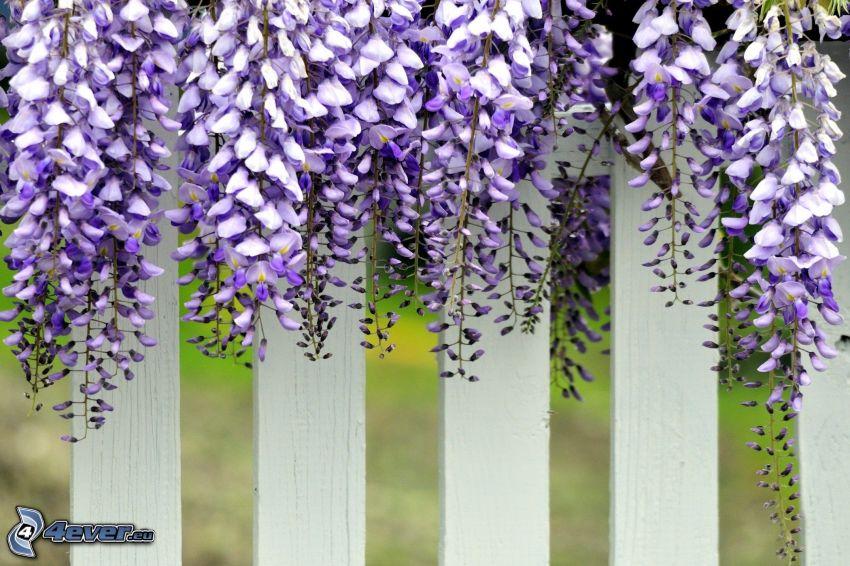 wisteria, flores de coolor violeta, valla