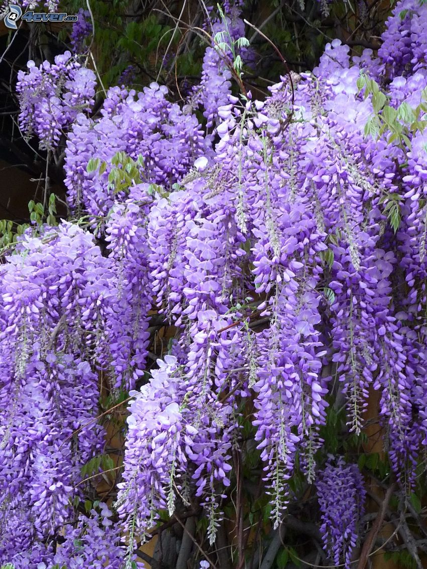wisteria, flores de coolor violeta