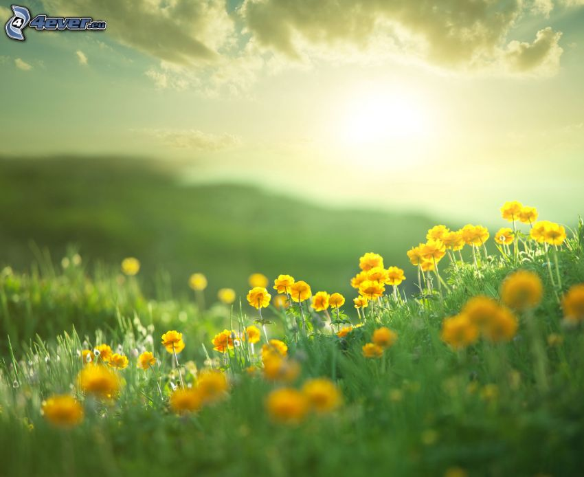 prado, flores amarillas, sol
