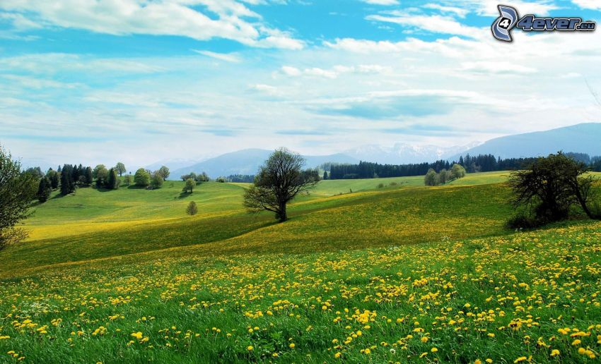prado amarillo, carlina, árboles