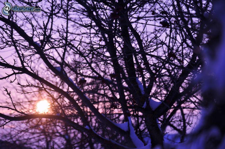 puesta de sol detrás de un árbol, ramas cubiertas de nieve