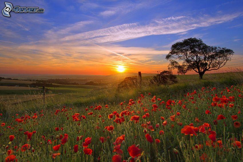 puesta de sol en la pradera, árbol ramificado, amapola, marcas de condensación